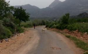 Çukurhisar'da çoban köpeği