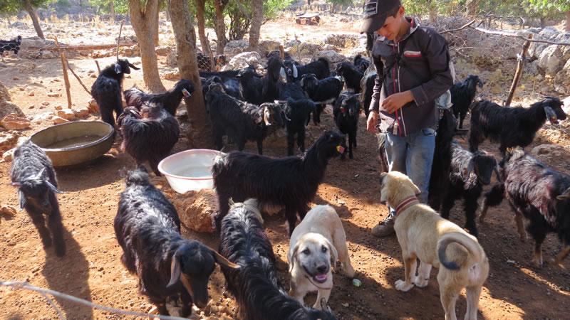 Pazarcık Sadakalar köyünde keçi sürüsü