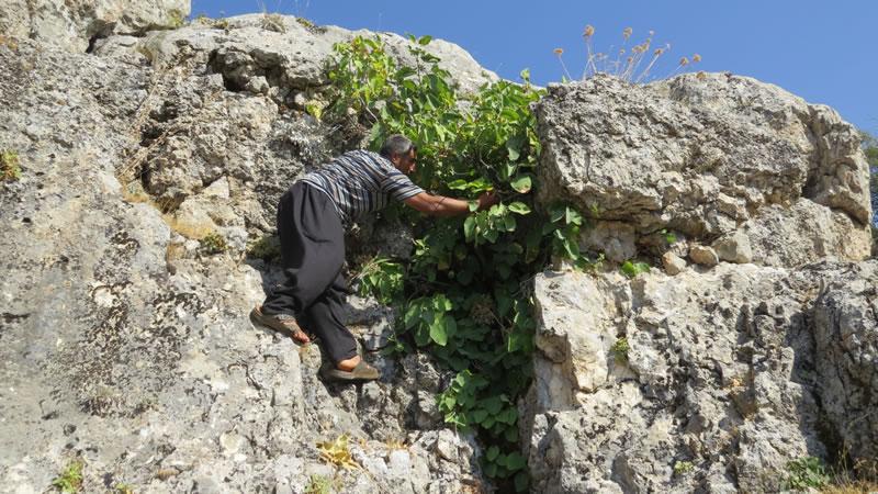 Pazarcık Sadakalar köyünde yabani incir topladık