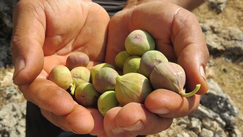 Teleme mayası olarak Pazarcık Sadakalar köyünde yabani incir topladık