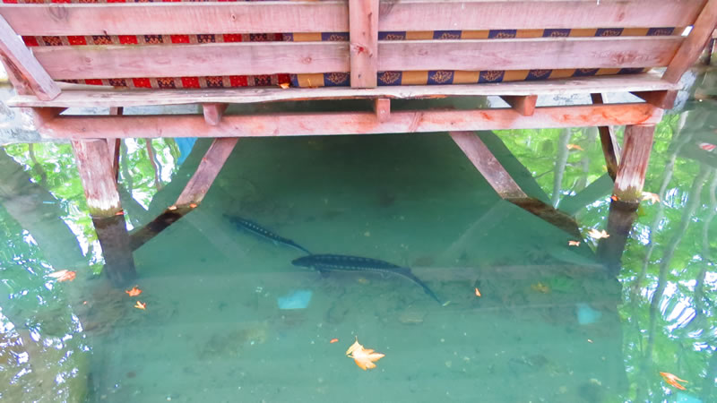 Fırnız Alabalık Tesislerinde mersin balıkları