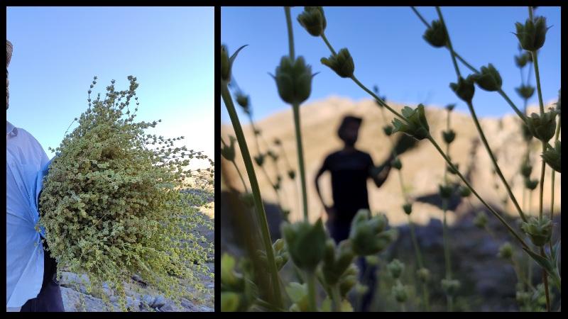 Nurhak Dağı'nda Dağ Çayı toplarken
